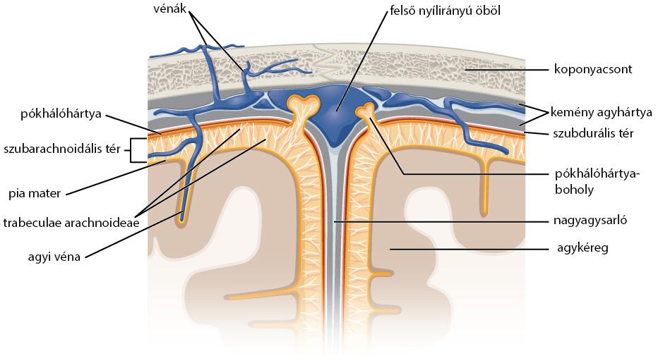 Az agyhártyák anatómiája