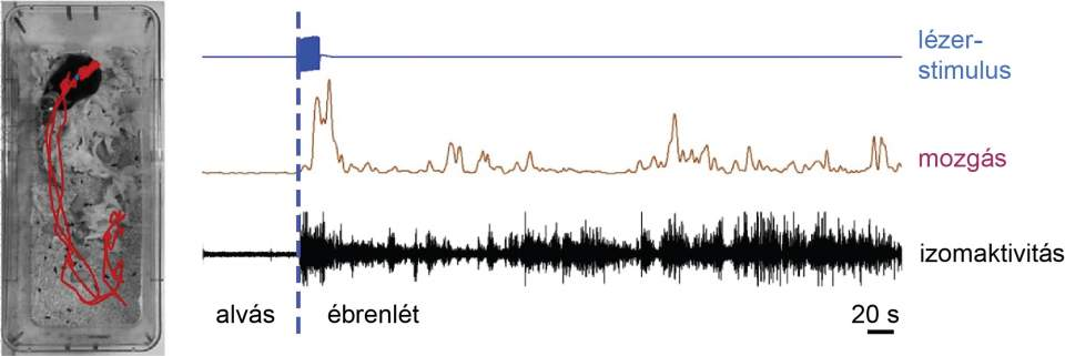 Alvás során a DMT kalretininsejtjeinek szelektív aktiválása lézerrel (kék) hosszú idejű felébredést okoz. A kísérleti állat elhagyja a fészkét (piros vonal jelezte útvonalon mozog; bal oldali fotó), és tartós percekig fennálló mozgás- (lila) és izomaktivitást (fekete) mutat