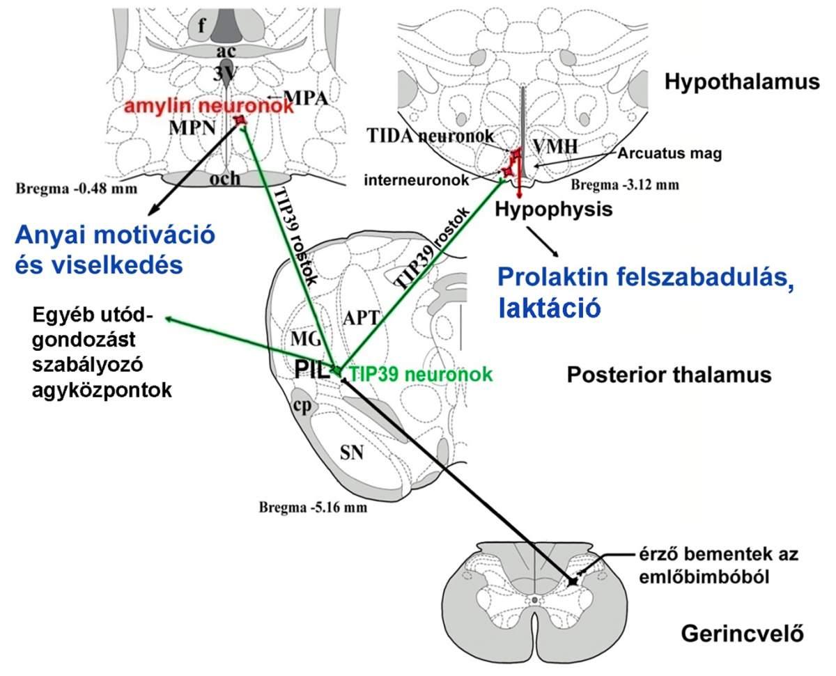 Molekuláris és Rendszer Neurobiológiai Kutatócsoport - Dobolyi Árpád - a kutatócsoport által azonosított idegpálya