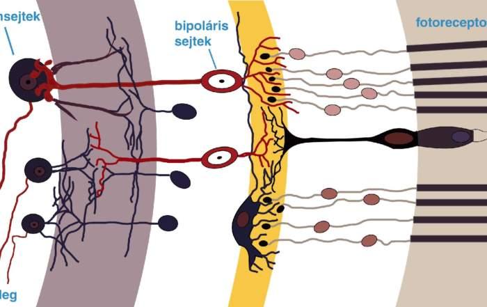 A retina vázlatos felépítése. A fény több átlátszó sejtrétegen áthaladva elérkezik a fotoreceptorokhoz, majd innen az általa keltett ingerület különféle idegsejtek – köztük a cikkben említett bipoláris és ganglionsejtek –hálózatán át végül eléri a látóideget - forrás: Wikimedia Commons/chris - CC-BY-SA