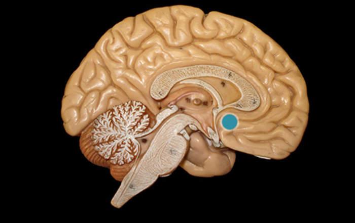 A bazális előagy elhelyezkedése egy szemléltető agymodellen (kékkel jelölve)