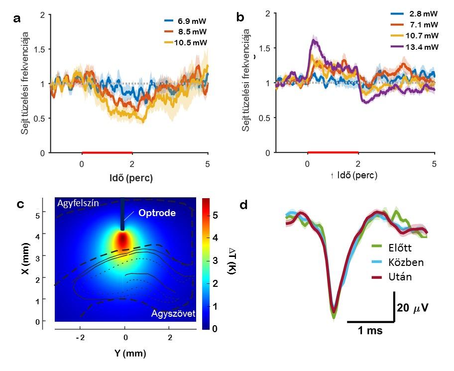 Kétperces optikai stimulációk sorozatára adott elektrofiziológiai válaszok. (a) Kortikális és (b) hippokampális sejt tüzelési frekvenciájának változása a stimulációs protokoll során a mikroeszközzel közvetített optikai fényteljesítmény függvényében. (c) A stimuláció során kiváltott, modellezett hőeloszlás rágcsáló agyszövetében. (d) Detektált akciós potenciálok reprezentatív hullámformájának összehasonlítása a stimuláció alkalmazása előtt (zöld), közben (kék) és után (piros).